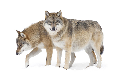 Photo pour Two Grey wolves isolted on white background - image libre de droit