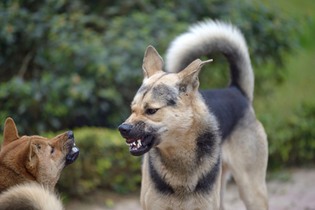 Foto de The dog looks aggressive, dangerous and may be infected by rabies. - Imagen libre de derechos