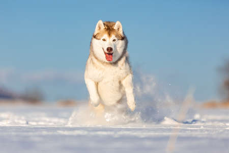 Foto de Crazy, happy and cute beige and white dog breed siberian husky with tonque out jumping and running on the snow in the winter field. husky dog has fun on blue sky background - Imagen libre de derechos