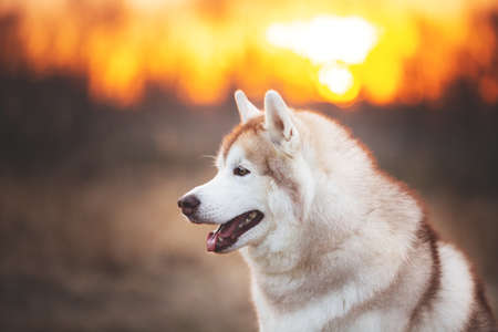Photo pour Profile Portrait of Beige and white Beautiful and gorgeous Siberian Husky dog sitting in the forest at sunset in spring - image libre de droit