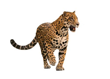 Photo pour jaguar ( panthera onca ) isolated on white backgrond - image libre de droit