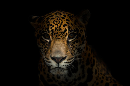 Foto de jaguar ( Panthera onca ) in the dark night - Imagen libre de derechos