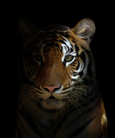 Photo pour bengal tiger head in the dark night - image libre de droit