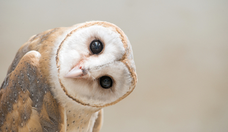 Foto de common barn owl ( Tyto albahead ) head close up - Imagen libre de derechos