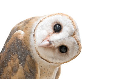 Photo for common barn owl ( Tyto albahead ) head isolated on white background - Royalty Free Image