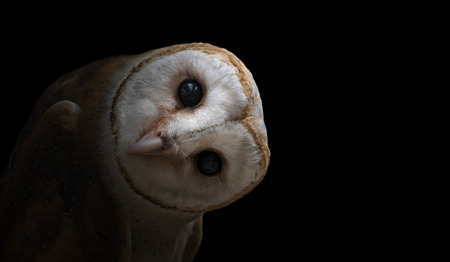 Photo for common barn owl ( Tyto albahead ) in dark background - Royalty Free Image