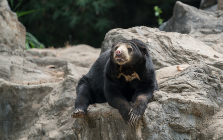 Photo pour malayan sunbear (helarctos malayanus) resting in zoo - image libre de droit