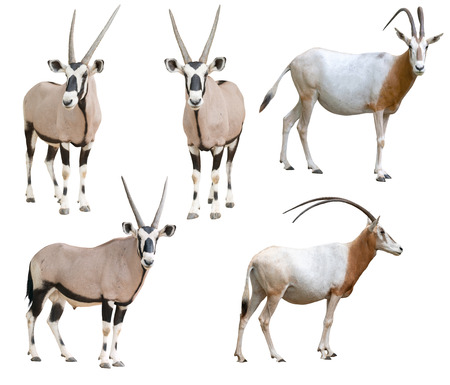 Photo pour scimitar horned oryx and gemsbok isolated on white background - image libre de droit