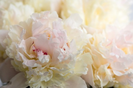 Photo for Beautiful flowers, peonies. Bouquet of pink peony background - Royalty Free Image