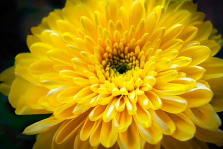 Foto de Close up of tender beautiful yellow chrysanthemum flower - Imagen libre de derechos