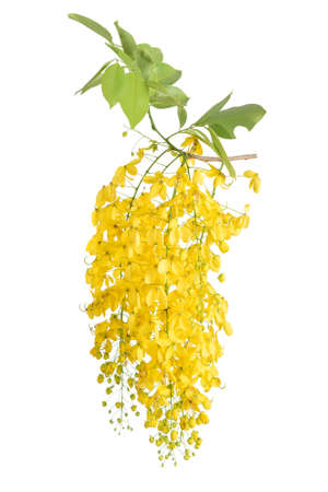 Photo for Golden Shower Tree on white background - Royalty Free Image