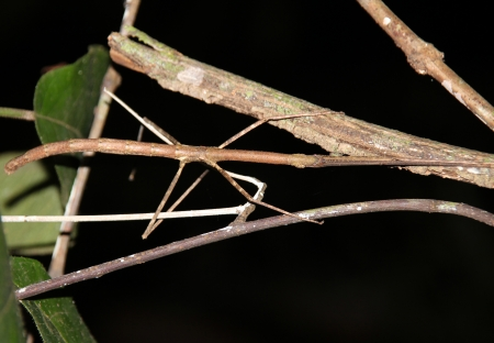 Stick Insect Walking Stick Taman Negara, Malaysia