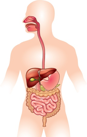 Illustrazione per Human digestive system detailed colorful illustration - Immagini Royalty Free