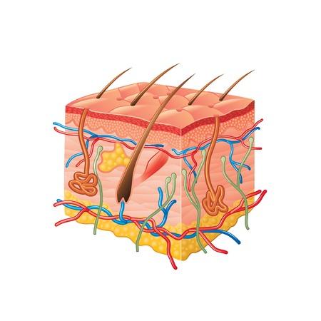 Illustrazione per Human skin anatomy isolated on white photo-realistic vector illustration - Immagini Royalty Free