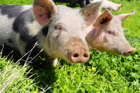 Young piglets family on a green meadow