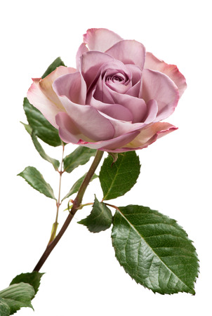 Photo pour Single Lavender Colored Rose with Green Leaves Isolated on White Background - image libre de droit
