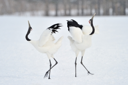 Foto de Two Red-crowned Cranes in courtship  - Imagen libre de derechos