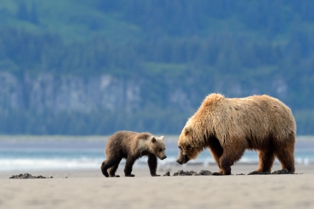 Photo pour Mother Grizzly Bear with cub feeding on clamps - image libre de droit