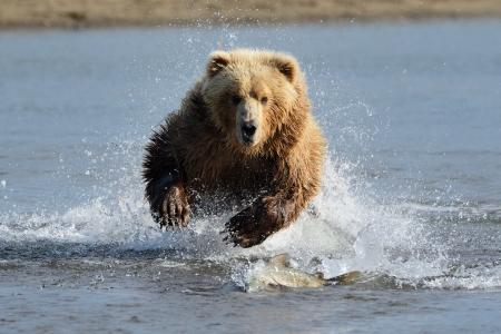 Photo pour Grizzly Bear jumping at fish - image libre de droit