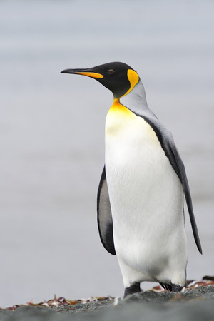 King Penguin Aptenodytes patagonicus standing on the beach of Macquarie Island, sub Antarctic waters of Australia