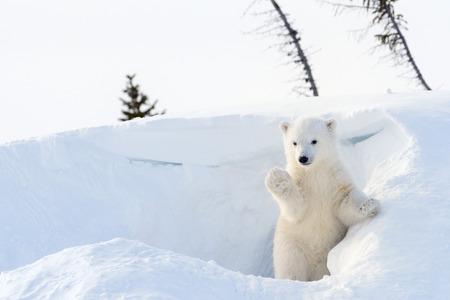 Photo pour Polar bear (Ursus maritimus) cub coming out den and playing around, Wapusk national park, Canada. - image libre de droit