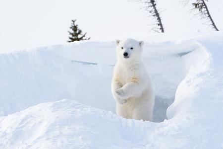 Photo pour Polar bear (Ursus maritimus) cub coming out den and standing up looking around, Wapusk national park, Canada. - image libre de droit