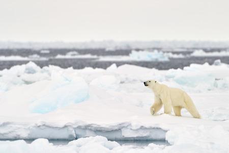 Photo pour Polar Bear (Ursus maritimus) adult, walkin on melting icefloe, floe edge, Baffin Bay, Nunavut, Canada. - image libre de droit