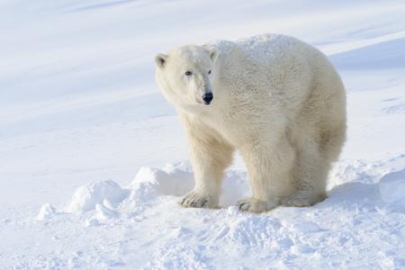 Photo pour Polar bear (Ursus maritimus) mother standing next to freshly opened den, Wapusk national park, Canada. - image libre de droit