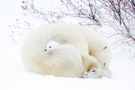 Photo for Polar bear mother (Ursus maritimus) sleeping on tundra with new born cub. - Royalty Free Image