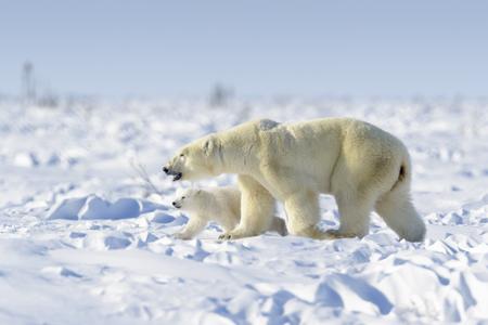 Photo pour Polar bear mother (Ursus maritimus) with new born cub walking on tundra, Wapusk National Park, Manitoba, Canada - image libre de droit