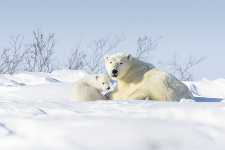 Photo pour Polar bear mother (Ursus maritimus) with new born cub lying down on tundra, Wapusk National Park, Manitoba, Canada - image libre de droit