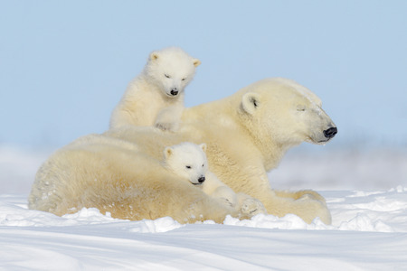 Photo pour Polar bear mother (Ursus maritimus) playing with two cubs, Wapusk National Park, Manitoba, Canada - image libre de droit