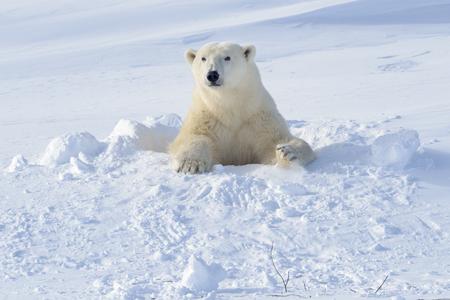 Photo pour Polar bear (Ursus maritimus) mother coming out freshly opened den with backlight, Wapusk national park, Canada. - image libre de droit