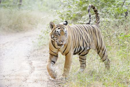 Photo pour Bengal tiger (Panthera tigris tigris) walking in forest, Ranthambhore National Park, Rajasthan, India. - image libre de droit