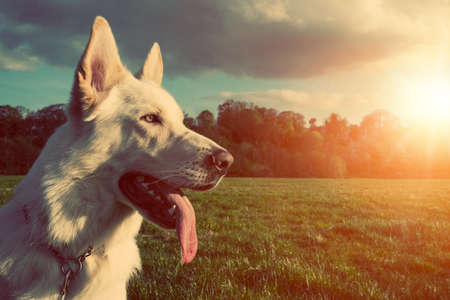 Foto per Gorgeous large white dog in a park, colorised image - Immagine Royalty Free