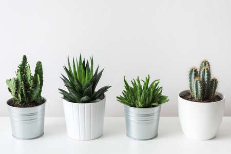 Foto de Collection of various cactus and succulent plants in different pots. Potted cactus house plants on white shelf against white wall. - Imagen libre de derechos