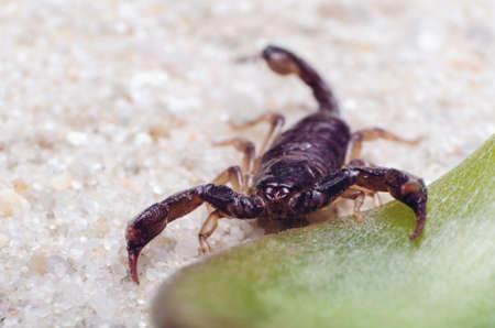 Photo pour Scorpion creeps on the sand close up. - image libre de droit