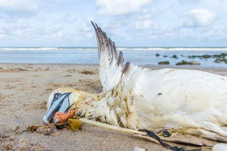 Photo pour dead northern gannet trapped in plastic fishing net washed ashore on Kijkduin beach The Hague - image libre de droit
