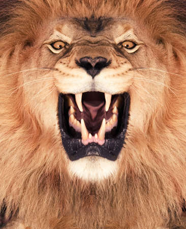 Direct frontal shot of a Lion roaring