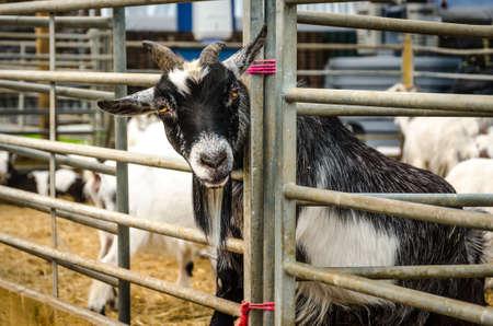 Farm goat with head through pen rails