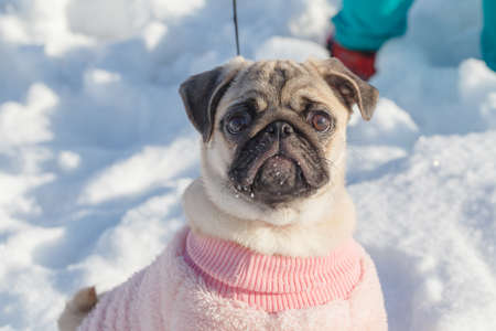 Pug-dog in snow day