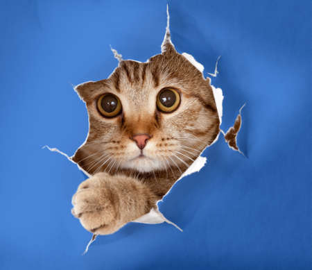 Photo for cat in blue chromakey paper hole - Royalty Free Image