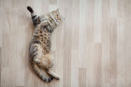 Photo for Adult cat lying on parquet floor at home - Royalty Free Image