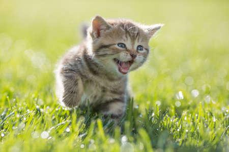 Photo pour Young funny cat meowing outdoor - image libre de droit