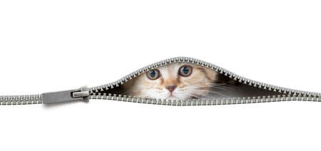 Photo for cat looking through the open zipper hole isolated on white - Royalty Free Image