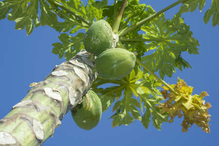 Photo for Fruits Papaya, Papaw or Pawpaw, Carica papaya growing on a tree on blue sky background - Royalty Free Image