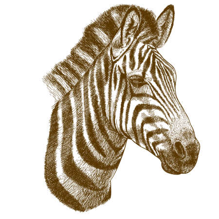 Illustration for engraving antique vector illustration of zebra head isolated on white background - Royalty Free Image