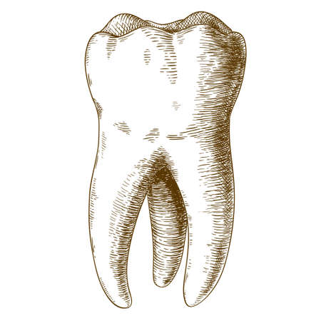 Illustration for Vector engraving  illustration of  highly detailed hand drawn human tooth  isolated on white background - Royalty Free Image