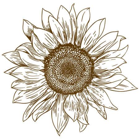 Ilustración de Vector antique engraving drawing illustration of big sunflower isolated on white background - Imagen libre de derechos