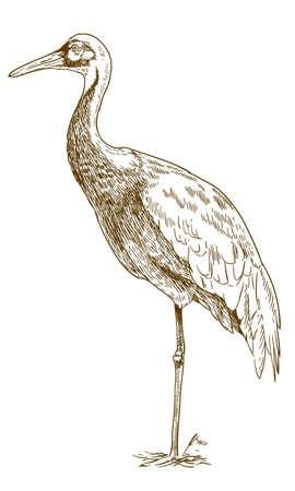 Illustration pour Vector antique engraving drawing illustration of white naped crane isolated - image libre de droit